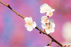 鮮やかな白梅の写真素材 [FYI00432006]