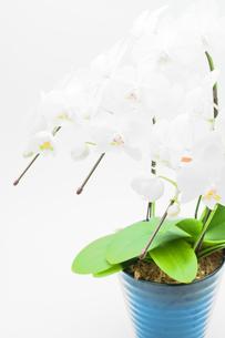 コチョウランの鉢植えの写真素材 [FYI00432039]