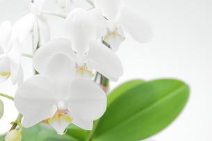 並んだ胡蝶蘭の写真素材 [FYI00432040]