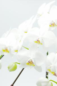 胡蝶蘭のアップの写真素材 [FYI00432047]