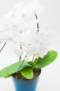 胡蝶蘭の鉢植えの写真素材 [FYI00432054]