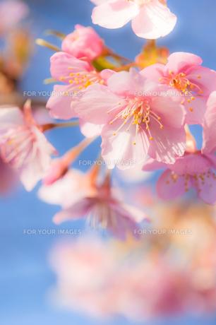 青空に輝く河津桜の写真素材 [FYI00432088]
