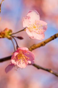 咲き始めの河津桜の写真素材 [FYI00432089]