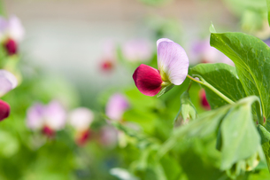 紫エンドウの花の写真素材 [FYI00432114]