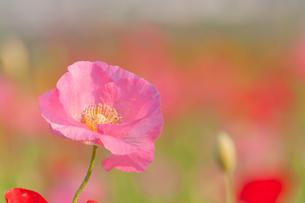 カラフルなポピー畑の写真素材 [FYI00432200]