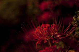 夜の彼岸花の写真素材 [FYI00432353]