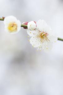白梅のアップの写真素材 [FYI00432441]