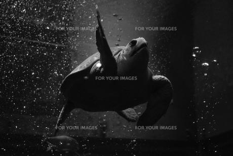 海亀の写真素材 [FYI00432730]