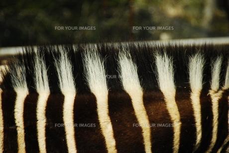 シマウマの鬣の写真素材 [FYI00432731]