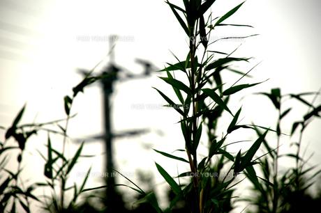 電柱と共に立ち並ぶ笹の写真素材 [FYI00432749]