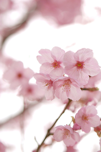 桜の花の素材 [FYI00432761]