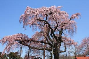 紅枝垂地蔵桜の写真素材 [FYI00432815]