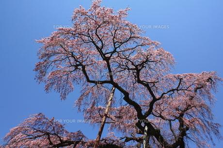 紅枝垂地蔵桜を見上げてみるの写真素材 [FYI00432816]