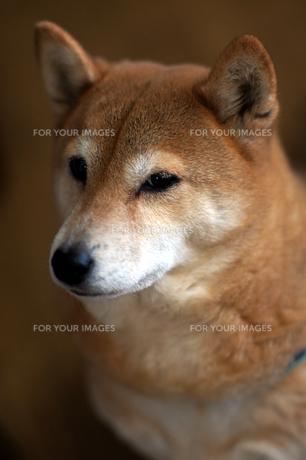 我が家の愛犬の写真素材 [FYI00432867]