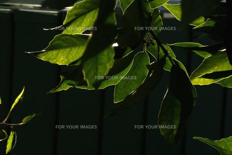 木漏れ日の素材 [FYI00432914]