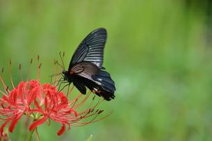 彼岸花と蝶の写真素材 [FYI00433036]