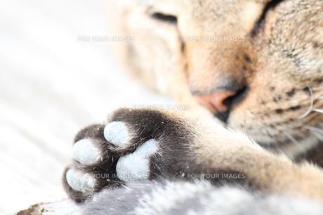 猫と肉球の写真素材 [FYI00433219]