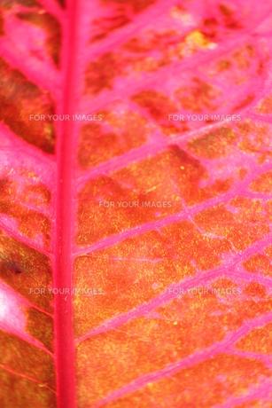 赤紫の葉脈の写真素材 [FYI00433346]