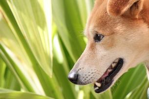 犬の横顔の写真素材 [FYI00433349]