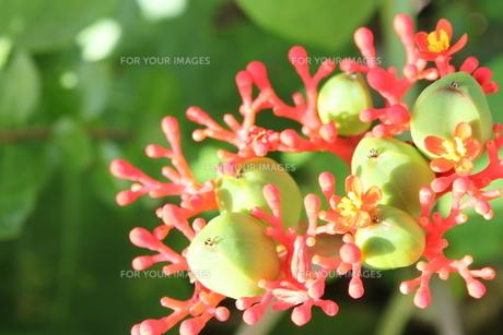 南国の赤い花とつぼみの素材 [FYI00433382]