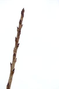 枝の素材 [FYI00433907]