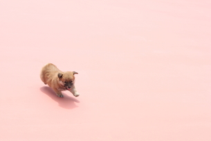 柴犬の素材 [FYI00434468]