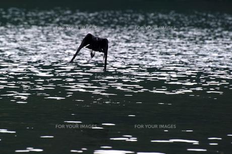 湖面とカラスの写真素材 [FYI00434621]