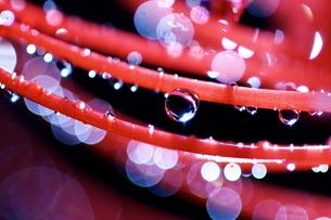 彼岸花と水滴の写真素材 [FYI00434697]