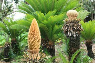 向かって左がソテツの雄花、右が雌花の写真素材 [FYI00434828]