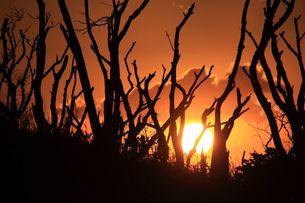 立ち枯れた木々の合間から見た夕日の写真素材 [FYI00434834]