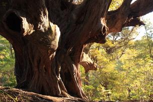 三宅島の森、迷子椎の写真素材 [FYI00434921]