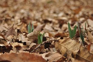 落葉の間から新芽の写真素材 [FYI00434951]