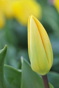 黄色いチューリップの蕾の写真素材 [FYI00434991]
