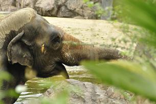 水浴びする象の写真素材 [FYI00434992]