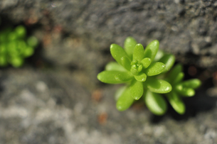 石垣の隙間から生えるセダムの新芽の写真素材 [FYI00435015]