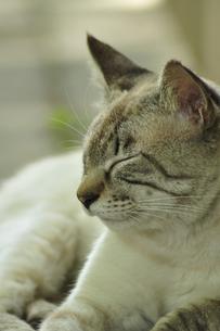 うたた寝する猫の写真素材 [FYI00435022]