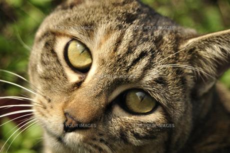 野良猫の顔の写真素材 [FYI00435036]