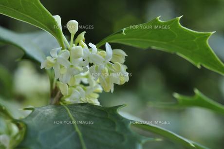 ヒイラギの白い花の写真素材 [FYI00435094]