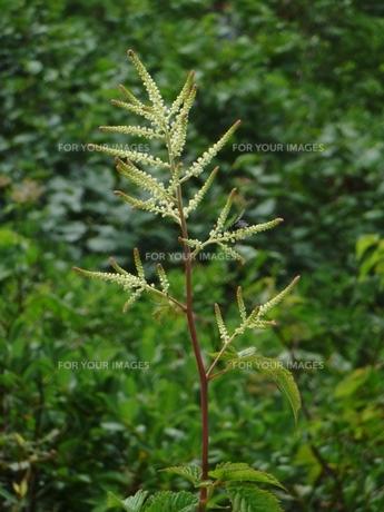 オロフレ峠で見つけた植物の写真素材 [FYI00435099]