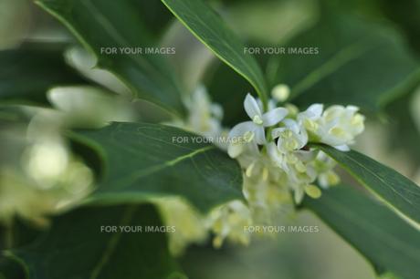 ヒイラギの白い花の写真素材 [FYI00435101]