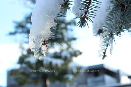 冬ですね〜。松に氷がついています。の素材 [FYI00435117]