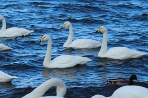 白鳥の湖の素材 [FYI00435143]