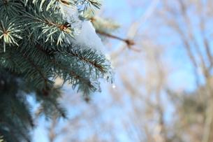 冬の松。凍えても緑。の写真素材 [FYI00435144]