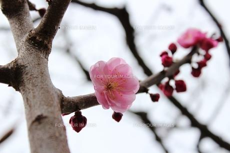 梅の花。の素材 [FYI00435148]