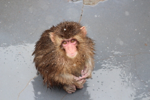 お猿の露天風呂スポットの素材 [FYI00435150]