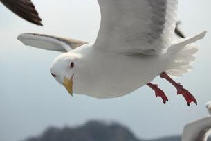 平行飛行のカモメの写真素材 [FYI00435153]