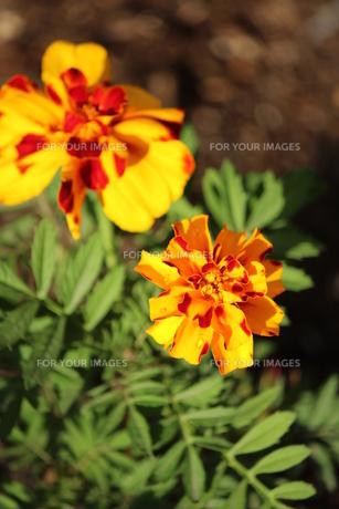 マリーゴールドの花の素材 [FYI00435155]