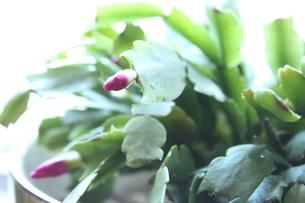 冬に花咲くサボテンの素材 [FYI00435157]