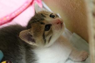 見上げる子猫の素材 [FYI00435174]