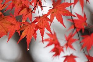 厳美渓にて紅葉狩りの素材 [FYI00435176]
